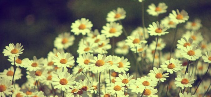 cropped-vintage-daisies-photography_00449004.jpg